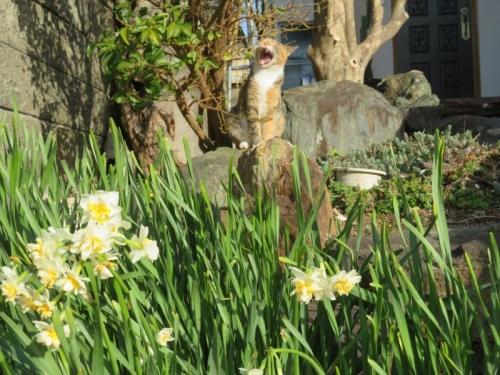 水仙が咲いて奥には野良三毛子ちゃんが大あくびして日向ぼっこしています。2021.02.27