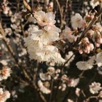 さくらんぼの花IMG_2532