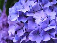 紫陽花ha_147