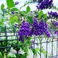 紫の花B455CE67-