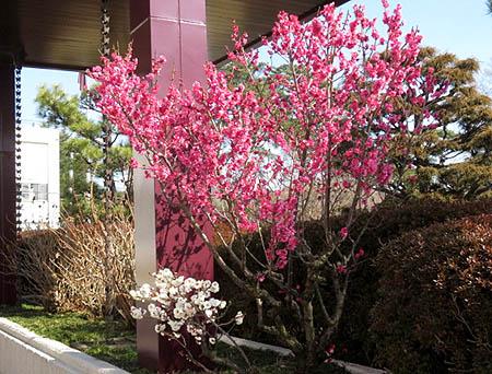 0224梅の花1