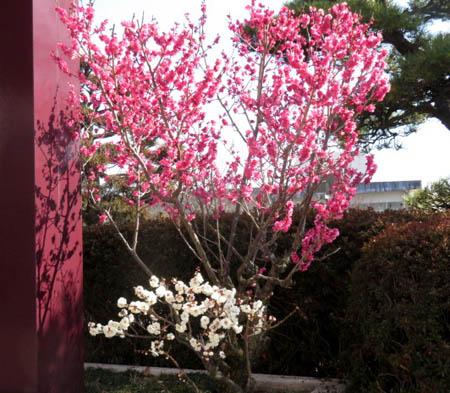 0224梅の花