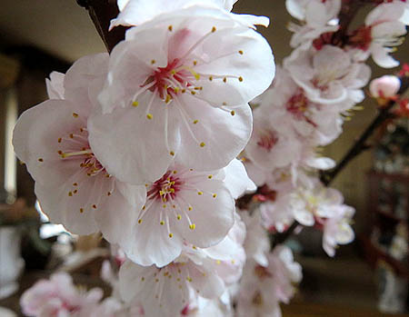 0322杏の花1