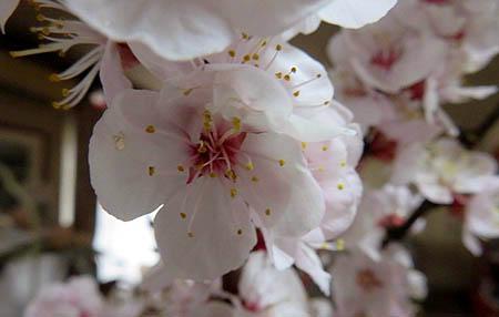 0322杏の花