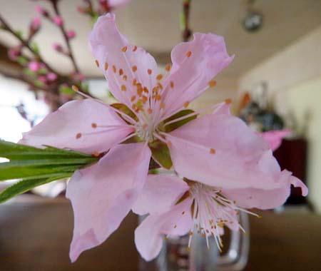 0326桃の花