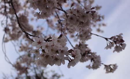 0329桜