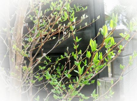 0404沙羅の芽吹き