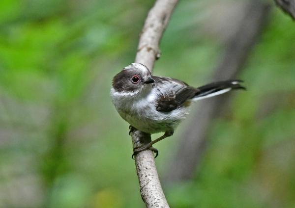 エナガ幼鳥1 DSX_6645