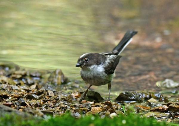 エナガ幼鳥3 DSX_6491