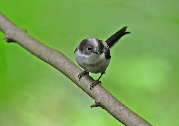 エナガ幼鳥4 DSX_6608