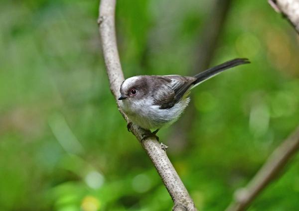 エナガ幼鳥6 DSX_5441