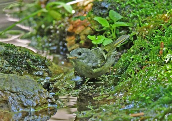 キクイタダキ幼鳥 DSX_7622