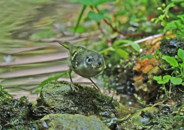 キクイタダキ幼鳥2 DSX_7614
