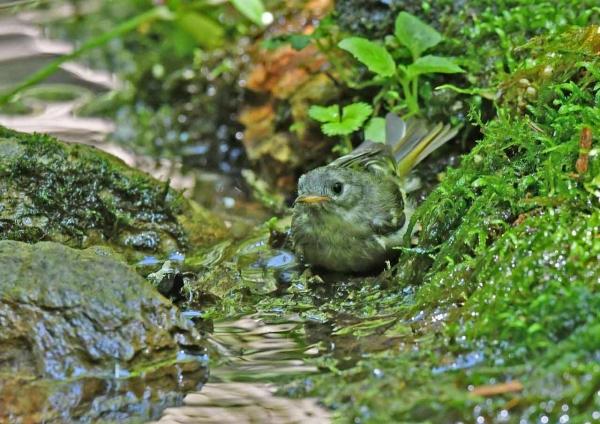 キクイタダキ幼鳥3 DSX_7616