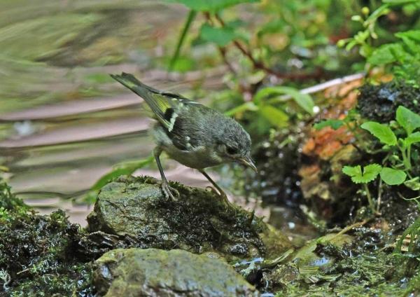 キクイタダキ幼鳥4 DSX_7613