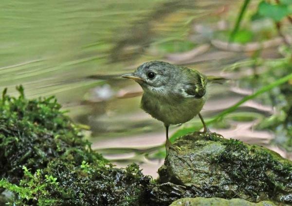 キクイタダキ幼鳥5 DSX_7607