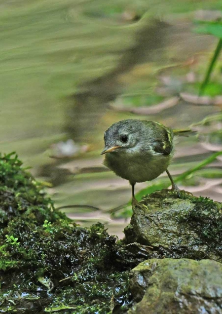 キクイタダキ幼鳥1 DSX_7610