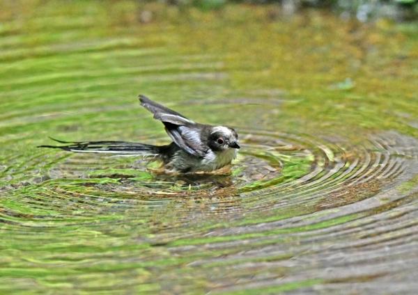 エナガ幼鳥水浴び3 DSY_3485
