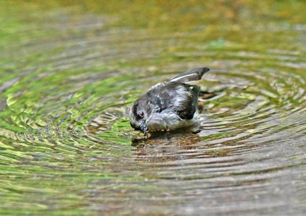エナガ幼鳥水浴び4 DSY_3501
