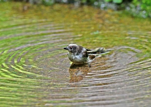 エナガ幼鳥水浴び5 DSY_3510