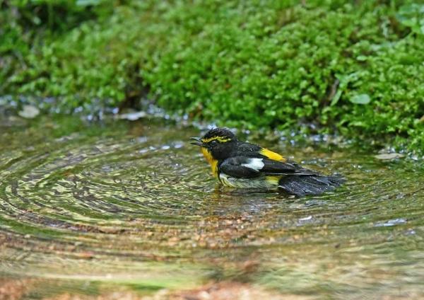 キビタキ水浴び1 DSY_3311