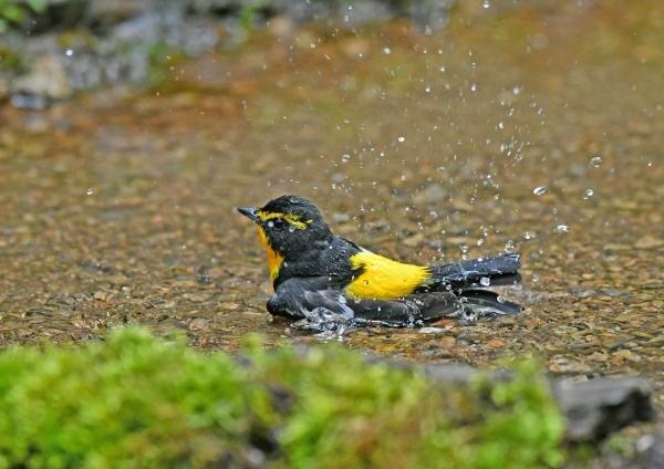 キビタキ水浴び4 DSW_8736