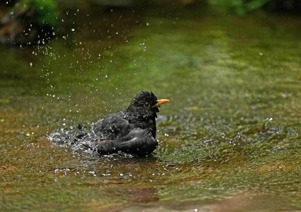 クロツグミ水浴び DSY_0346
