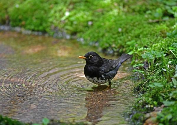 クロツグミ水浴び1 DSY_0091