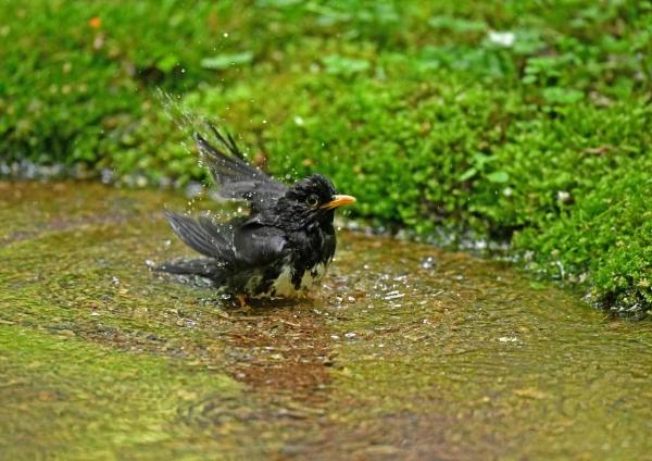 クロツグミ水浴び2 DSY_0627