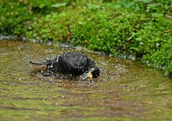 クロツグミ水浴び3 DSY_0679