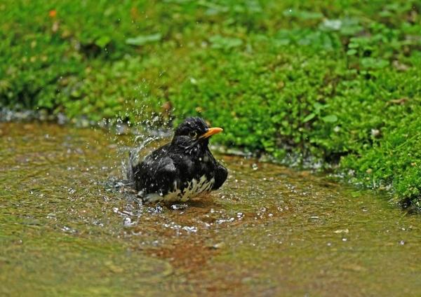 クロツグミ水浴び4 DSY_0582