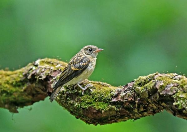 オオルリ幼鳥 DSY_6997