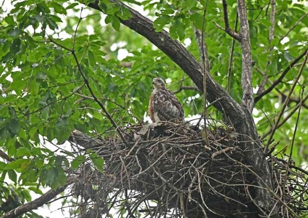 オオタカ幼鳥1 DSZ_2041