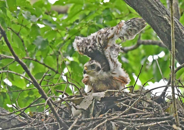 オオタカ幼鳥5 DSZ_2031