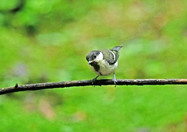 シジュウカラ幼鳥1 DSY_9891