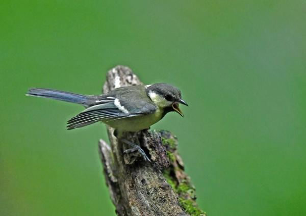 シジュウカラ幼鳥2 DSZ_0571-