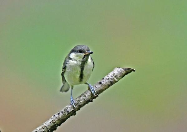 シジュウカラ幼鳥4 DSZ_1035-