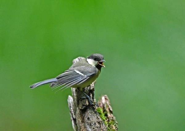 シジュウカラ幼鳥5 DSZ_1679-