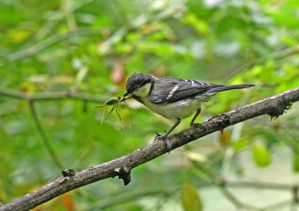 シジュウカラ幼鳥6 DSZ_0360