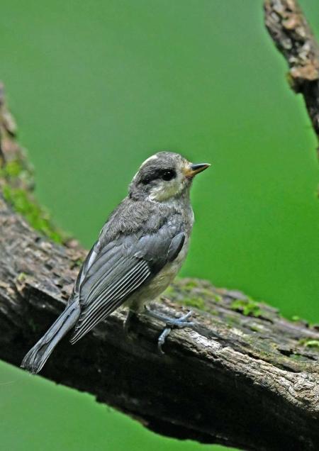 ヤマガラ幼鳥1 DSY_9846