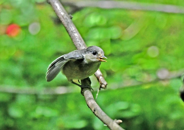 ヤマガラ幼鳥 DSY_4919