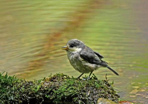 ヤマガラ幼鳥2 DSY_6110