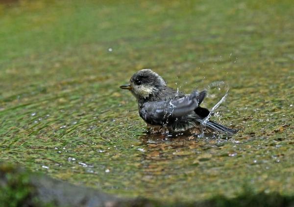 ヤマガラ幼鳥5水浴び DSY_964