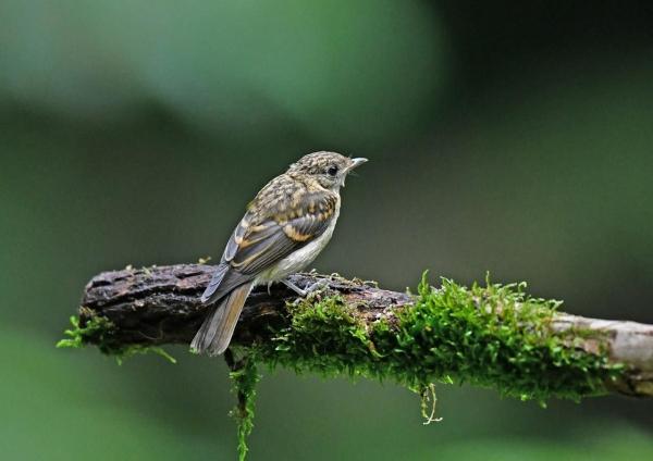 キビタキ幼鳥4 DSZ_2275