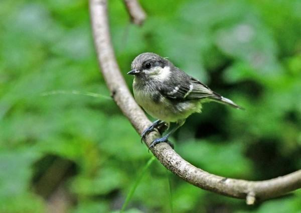 ヒガラ幼鳥1 DSZ_1510