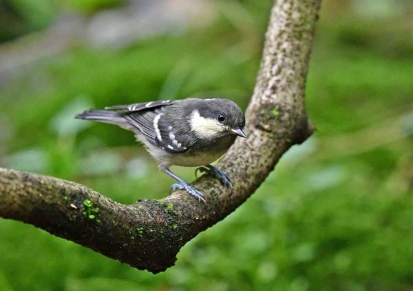 ヒガラ幼鳥2 DSZ_1638