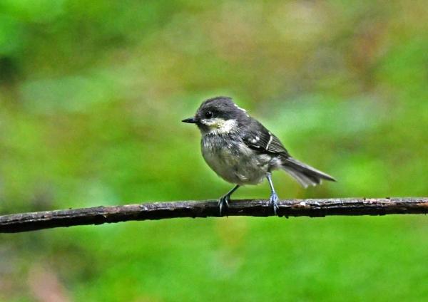 ヒガラ幼鳥3 DSZ_0237