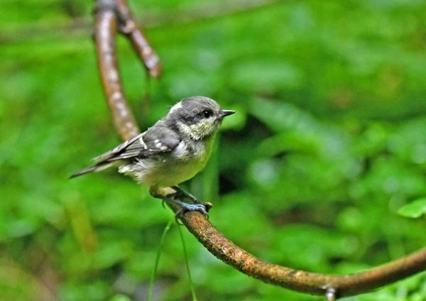 ヒガラ幼鳥4 DSZ_0217