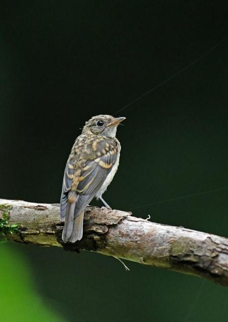 キビタキ幼鳥1 DSZ_2573