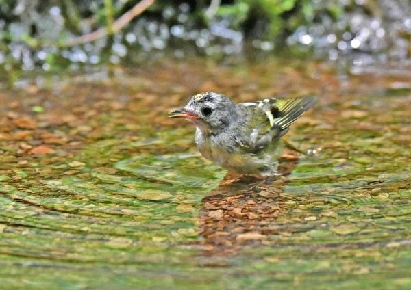 キクイタダキ幼鳥6水浴DSZ_105